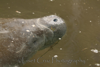 Manatees at Wakulla River